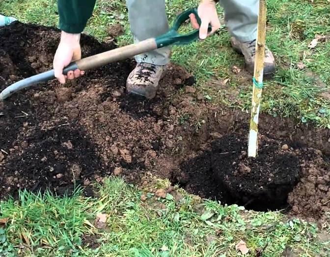 plantarea unui pom
