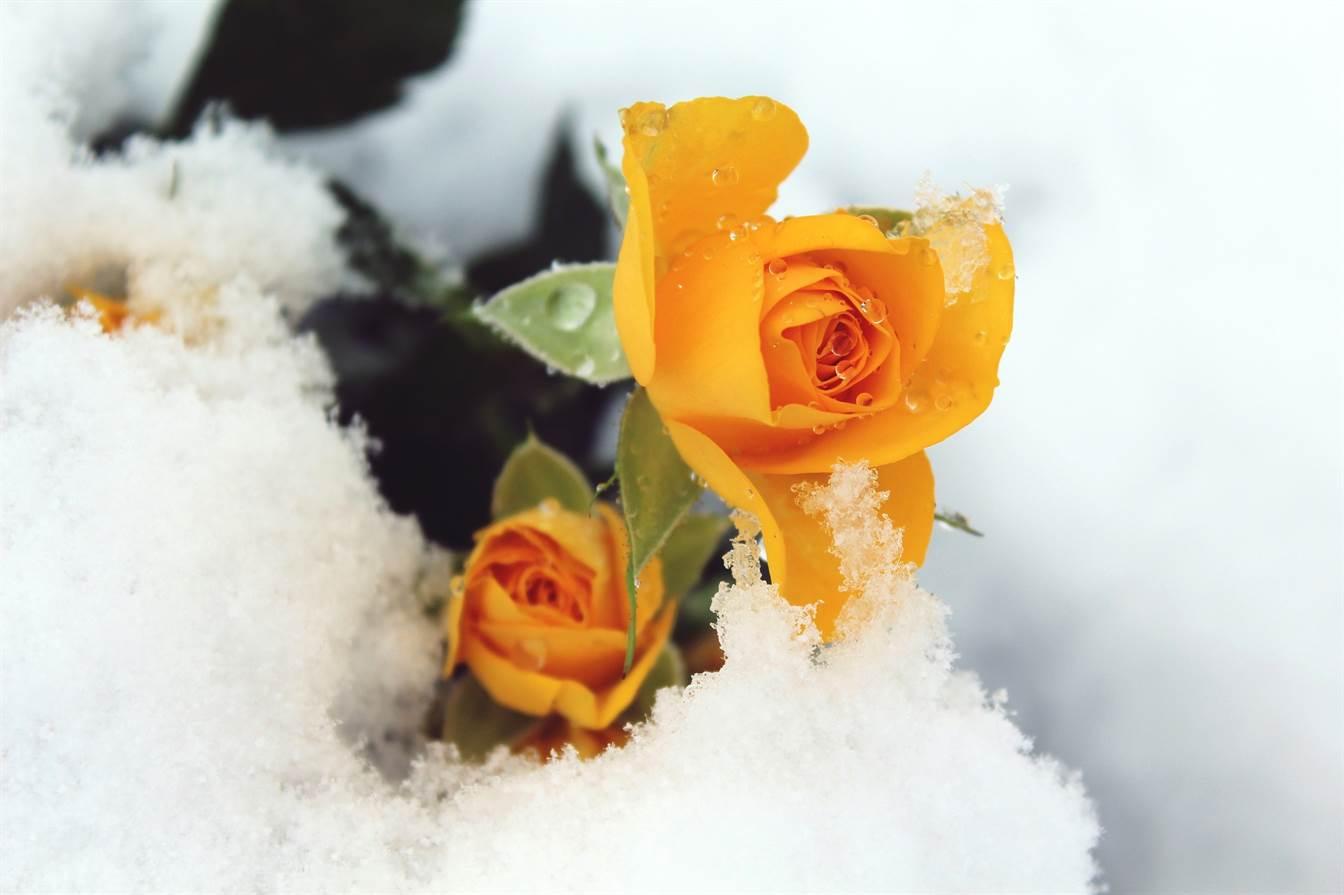 10 Plante Superbe Care Înfloresc Iarna